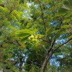 緑の桜(今宮神社)